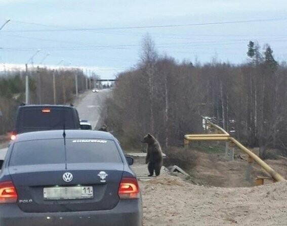 Медведь вышел к автомобильной дороге в Ухтинском районе - Фото предоставлено ИА «Комиинформ